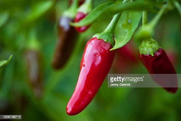 red chilli - pepper stock pictures, royalty-free photos & images