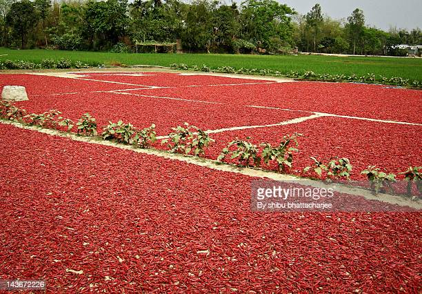 Red chillies and rice field in Bangladesh