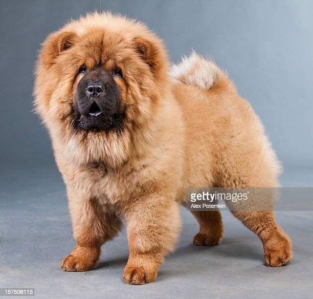 red chow-chow - chow stock pictures, royalty-free photos & images
