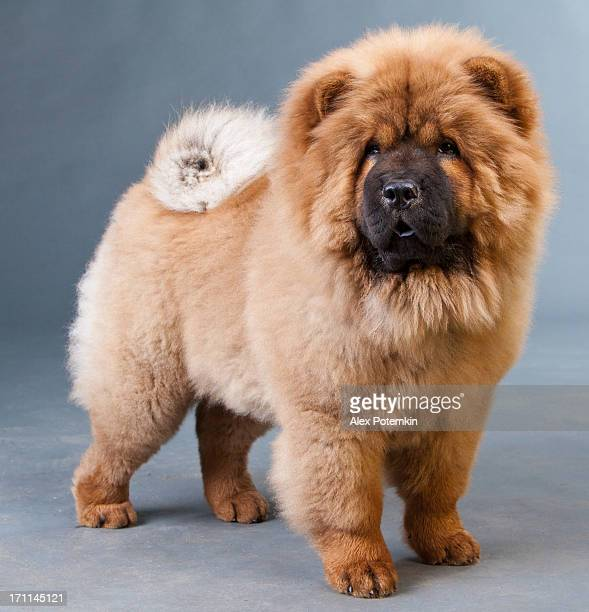 red chow-chow - chow dog stock pictures, royalty-free photos & images