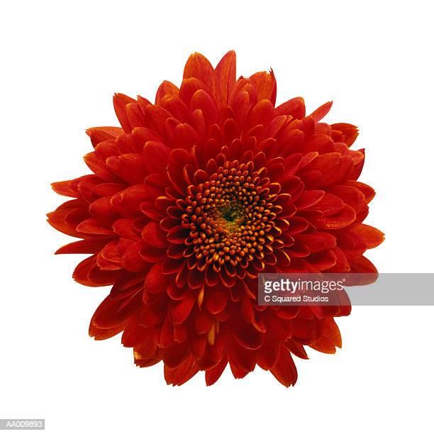 Red Chrysanthemum Close-up