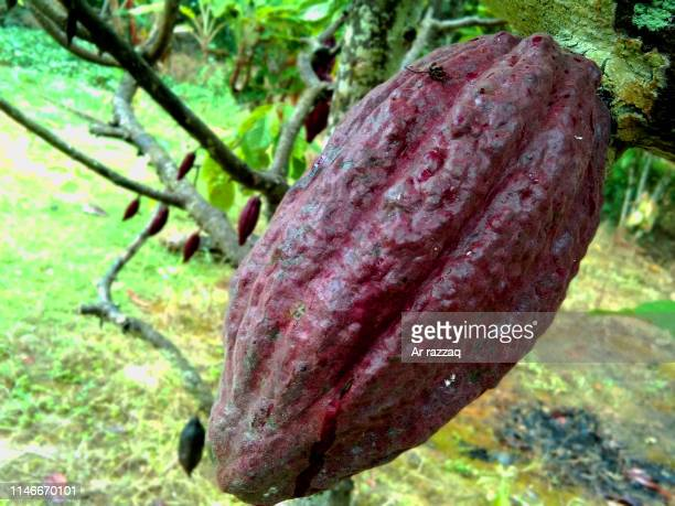 Red cocoa fruit on a tree
