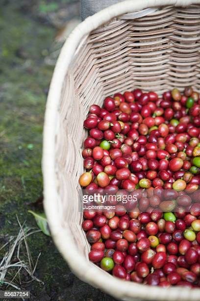 Red coffee berries in basket , Colombia