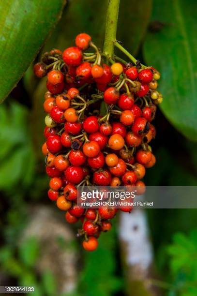 red coffee berries (rubiaceae) in the botanic garden of bom sucesso, sao tome, sao tome and principe, atlantic ocean - sucesso stock pictures, royalty-free photos & images