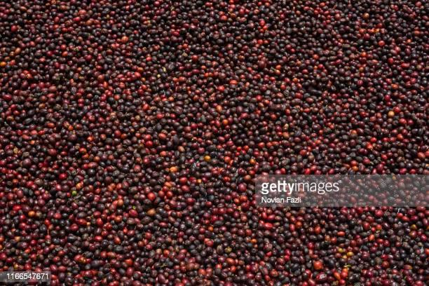red coffee berries - café culture agricole photos et images de collection