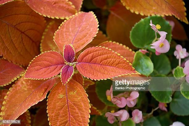 Red Coleus Plant, Burlington, Ontario.