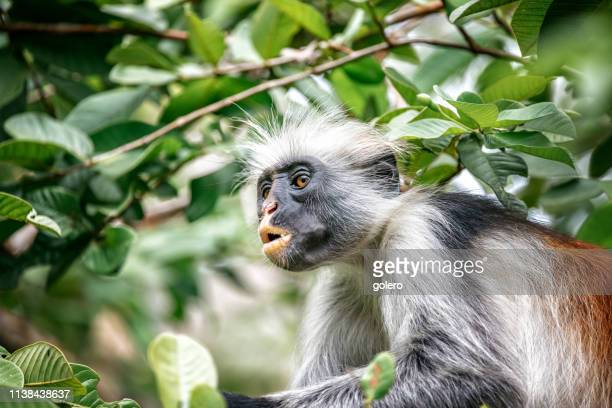red colobus monkey - zanzibar stock pictures, royalty-free photos & images