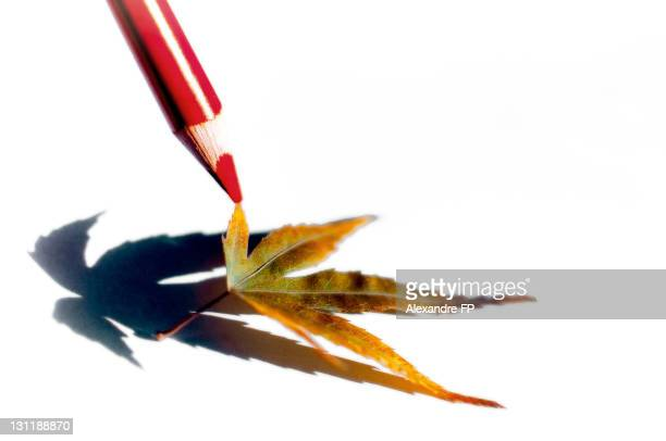 Red color pencil touching maple leaf
