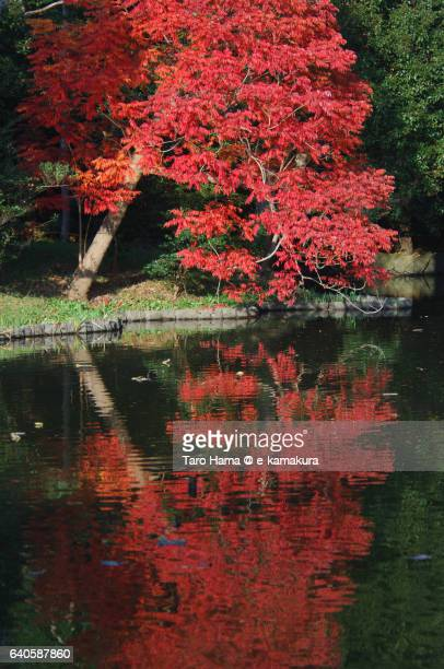 Red color tree reflected on pond