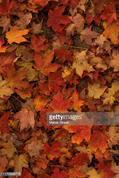 red colorful carpet of autumn leaves from above - autumn leaf stock pictures, royalty-free photos & images