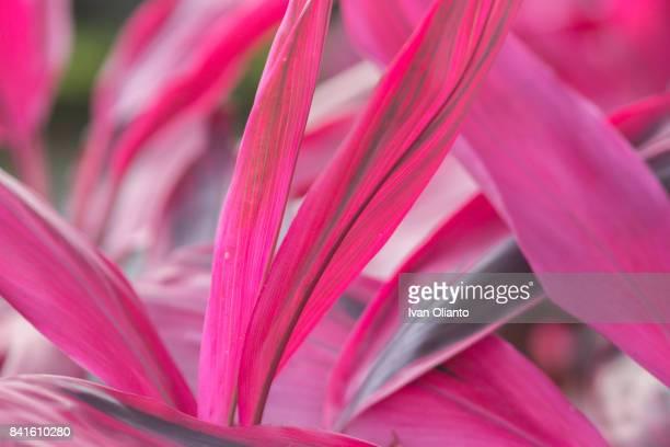 Red Cordyline fruticosa Leaves