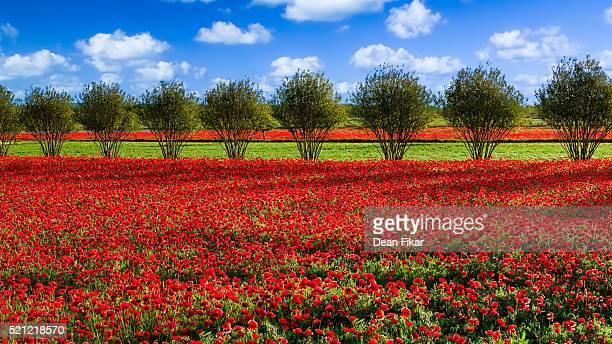 Red Corn Poppy Fields in Texas