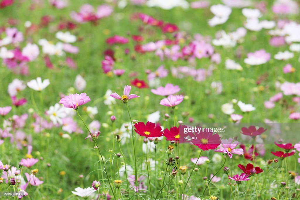 Red cosmos flower : Stock Photo