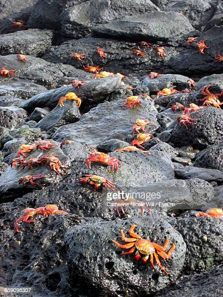 red crabs on wet rocks during sunny day - puerto ayora stock pictures, royalty-free photos & images