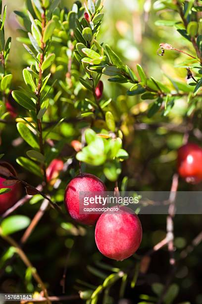 red cranberries - cranberry harvest stock pictures, royalty-free photos & images