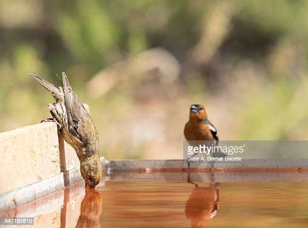 red crossbill (loxia curvirostra) female.  male chaffinch bird species , (fringilla coelebs ), of the family passeriformes - blue cardinal bird stock pictures, royalty-free photos & images