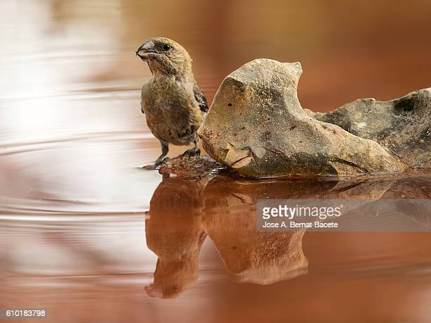 Red Crossbill (Loxia curvirostra) female, put on a rock drinking. Sapin,