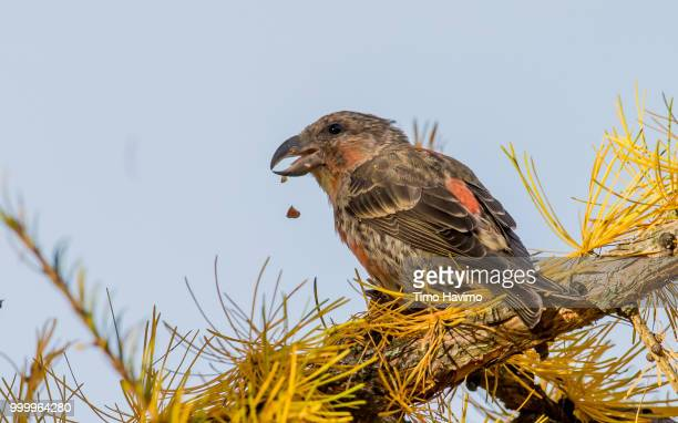 Red Crossbill; Tampere Finland; copyright Timo Havimo