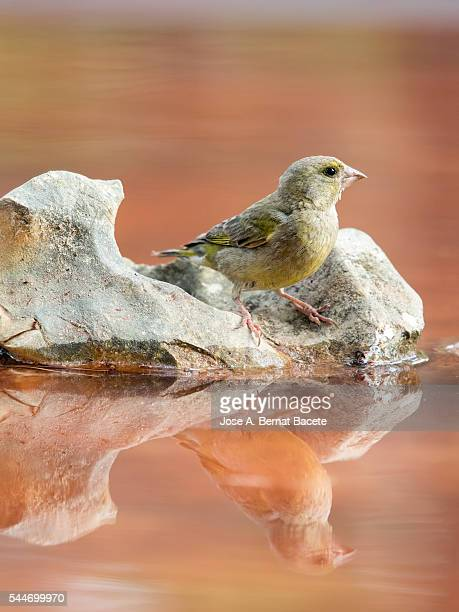 Red Crossbill (Loxia curvirostra) young female, put on a rock with his reflection in the water.