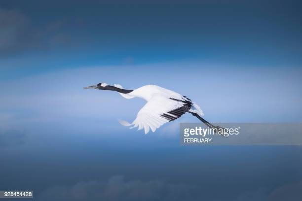 Red crowned crane flying in snow.