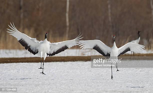 Red crowned cranes dancing at Akan.