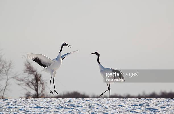 red crowned cranes in snow hokkaido, japan - peter snow stock pictures, royalty-free photos & images