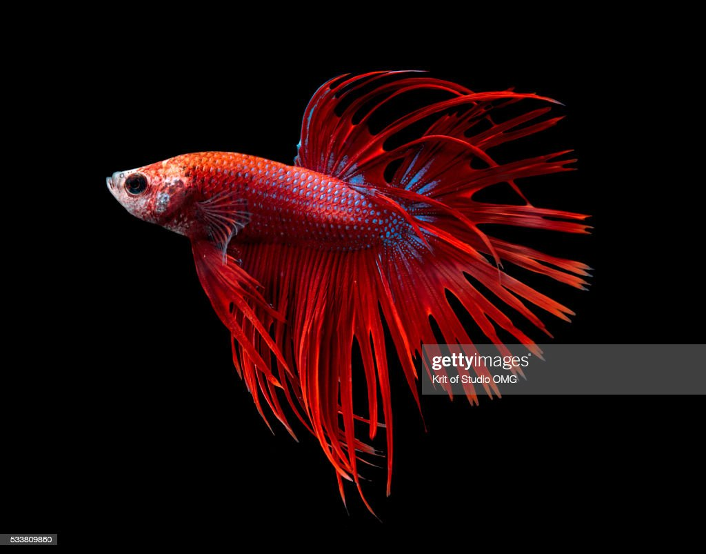 Siamese Fighting Fish Stock Photos and Pictures | Getty Images