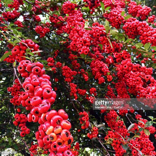 red currant bush in backgrounds - cranberry harvest stock pictures, royalty-free photos & images