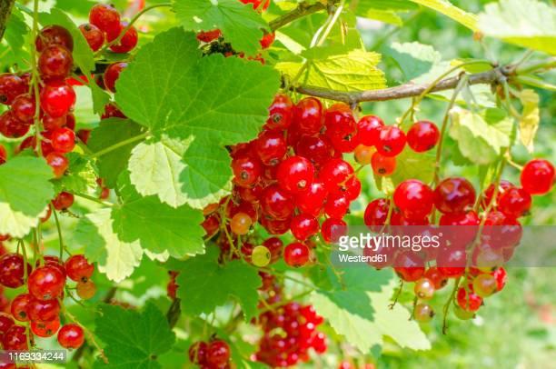red currants on shrub - johannisbeere stock-fotos und bilder