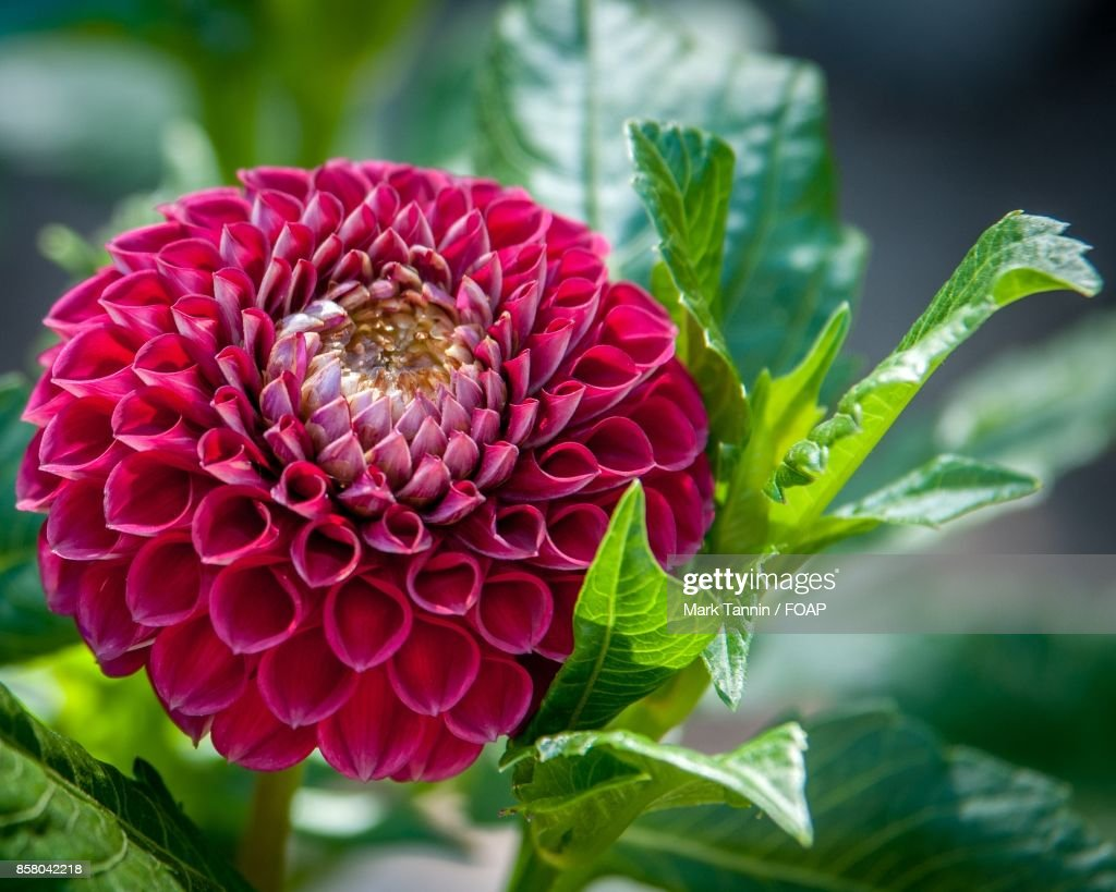 Red Dahlia Flower Blooming On Plant Stock Photo Getty Images