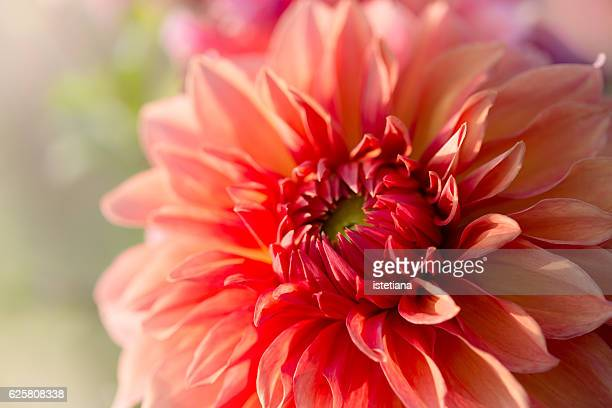 Red dahlia, single flower in selective  focus