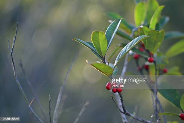 red dahoon berries (ilex cassine) on tree next to bare tree branches - florida christmas stock pictures, royalty-free photos & images