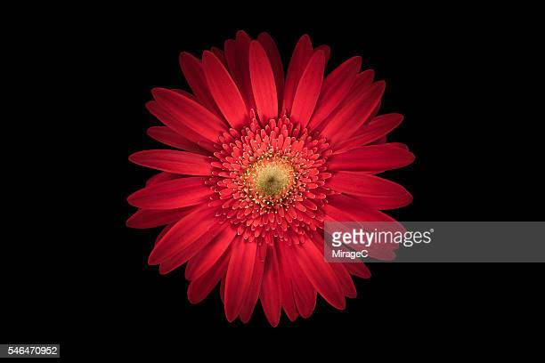 Red Daisy Flower Black Background, Overhead Close-up View