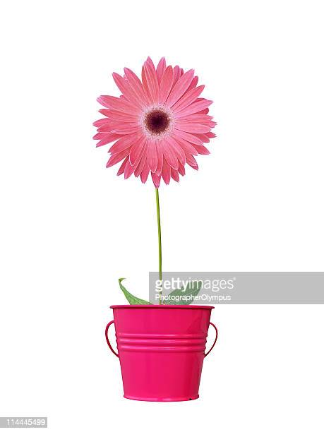 red daisy in pot - gerbera stock pictures, royalty-free photos & images