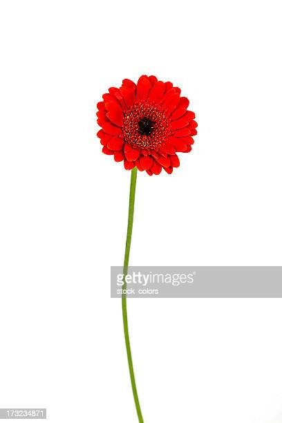 red daisy - gerbera daisy stock pictures, royalty-free photos & images