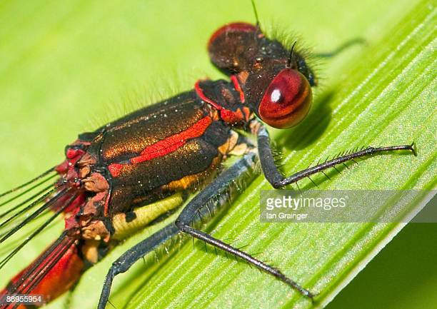 red damselfly - ian grainger stock pictures, royalty-free photos & images