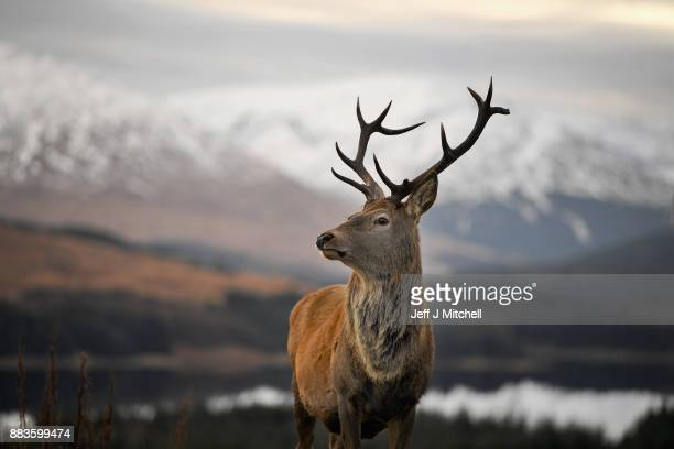 A red dear stag waits to be fed by tourists visiting a car park near Glen Coe on December 1 2017 in Glen CoeScotland On the first day of the...