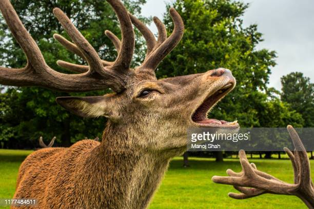 red deer at wallaton park, nottingham. - animal body part stock pictures, royalty-free photos & images
