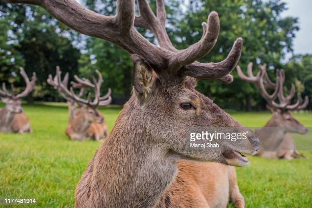 red deer at wallaton park, nottingham, united kingdom. - herbivorous stock pictures, royalty-free photos & images