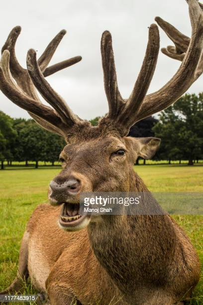 red deer at wallaton park. - animal body part stock pictures, royalty-free photos & images