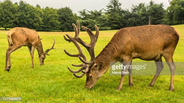 red deer at wallaton park - アカシカ ストックフォトと画像