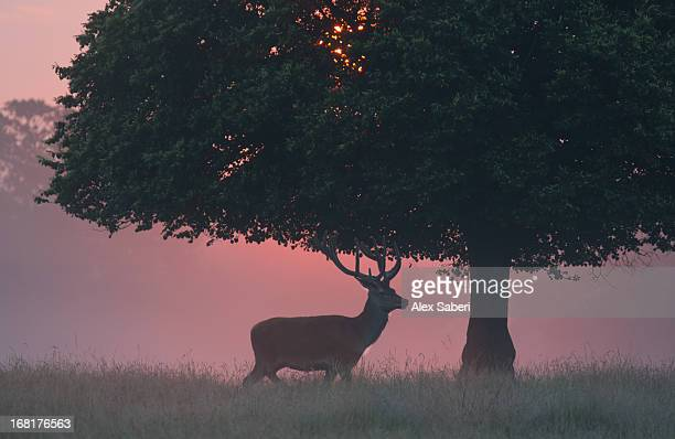 a red deer buck, cervus elaphus, and a tree against a dramatic sky. - alex saberi imagens e fotografias de stock
