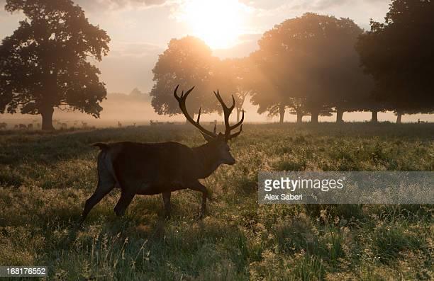 a red deer buck, cervus elaphus, and others in the distance. - alex saberi imagens e fotografias de stock