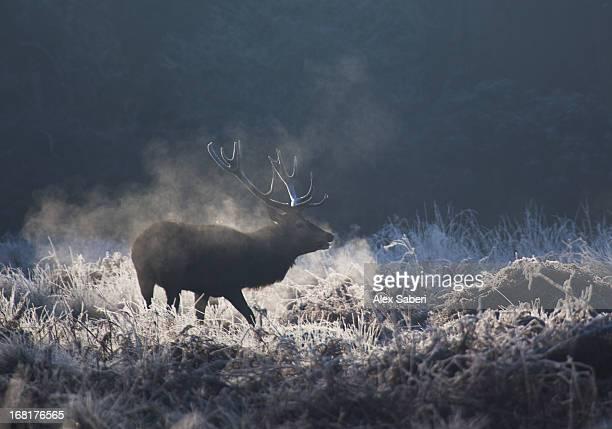 a red deer buck, cervus elaphus, in frost covered grass. - alex saberi imagens e fotografias de stock
