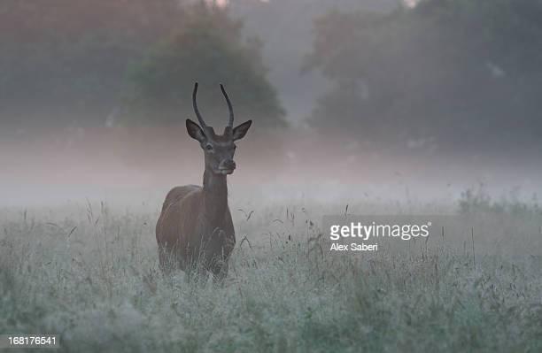 a red deer buck, cervus elaphus, on a misty summer morning. - alex saberi imagens e fotografias de stock