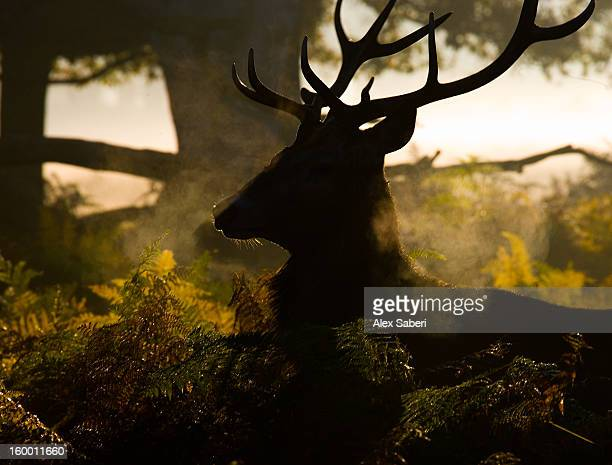 a red deer buck, cervus elaphus, with mist and autumn color. - alex saberi stock pictures, royalty-free photos & images
