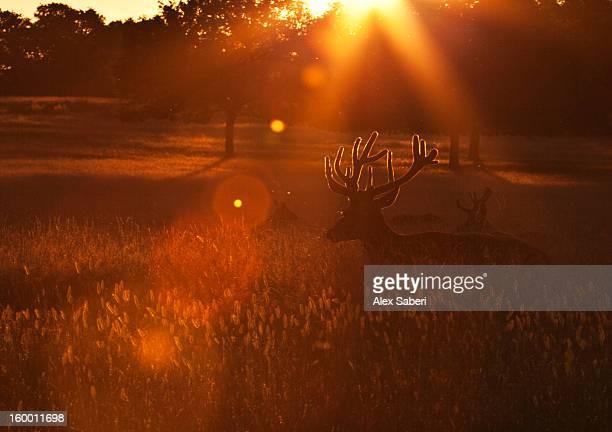 red deer bucks, cervus elaphus, resting in the evening sun. - alex saberi stock pictures, royalty-free photos & images