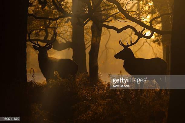 red deer bucks, cervus elaphus, silhouetted on a winter morning. - alex saberi stock-fotos und bilder