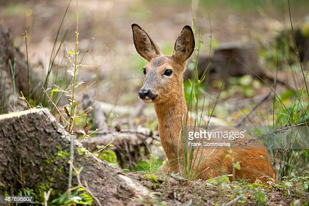 Red Deer -Capreolus capreolus-, hind lying on the forest floor, captive, Saxony, Germany