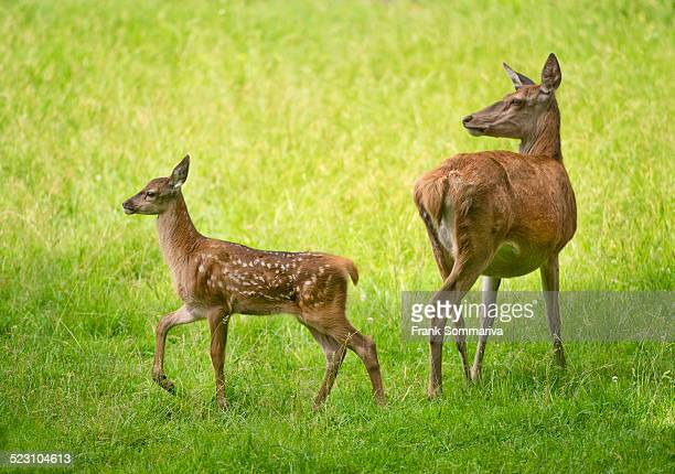 red deer -cervus elaphus-, deer and fawn standing in a meadow, captive, bavaria, germany - femmina di daino foto e immagini stock